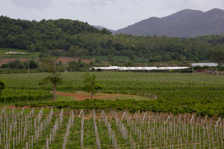 vineyard in Pattaya, Thailand