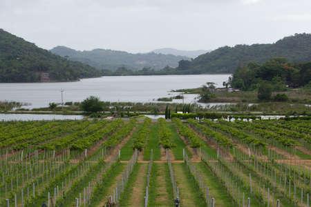 vineyard in Pattaya, Thailand photo