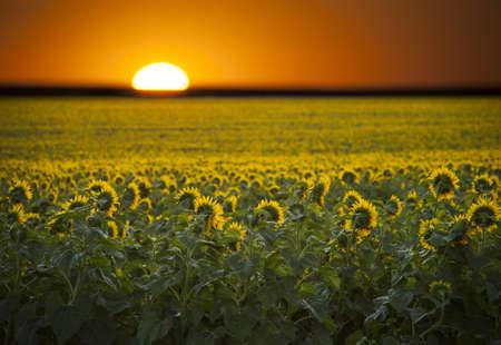 digital composite: Digital composite of a sunrise over a field of sunflowers  Stock Photo