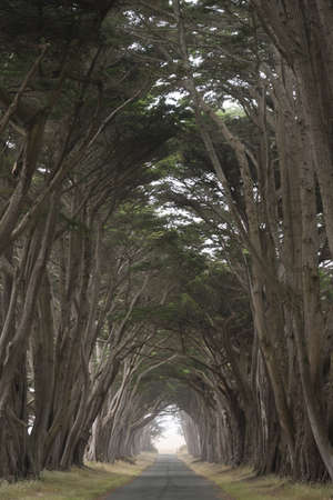 Tree canopy arching over a misty road, California, USA photo
