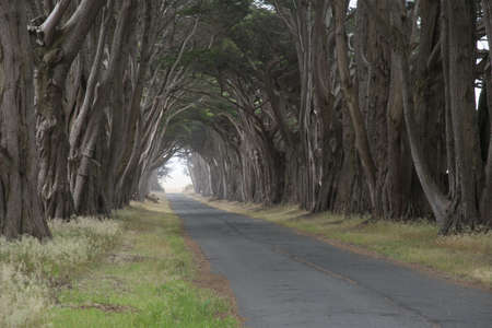 arching: Tree canopy arching over a misty road, California, USA