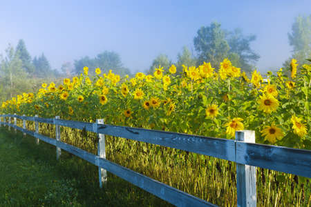 Sunflowers during an early morning fog, Stowe Vermont, USA photo
