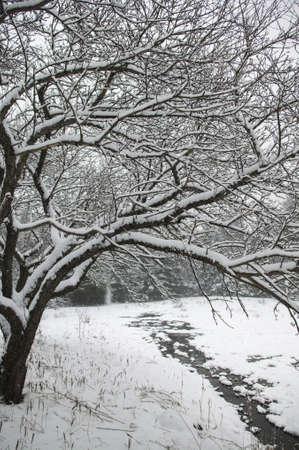 arching: �rbol nevado arco sobre un arroyo, Stowe, Vermont, EE.UU.