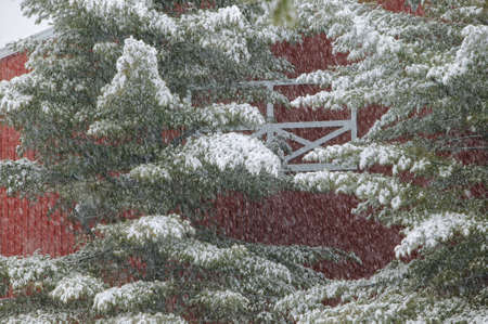 Snow on a pine tree with a red barn behind the tree, Stowe, Vermont, USA photo