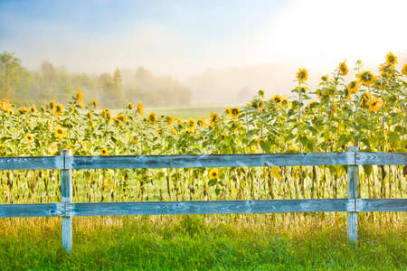 enhanced: Digitally enhanced image of sunflowers on a foggy early morning in Stowe Vermont, USA