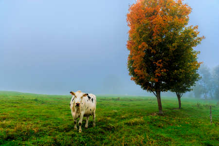 Closeup of a cow looking at the camera, on a foggy morning in Stowe, Vermont, USA photo