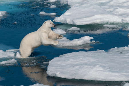 floats: Polar bear jumping between ice floats in Svalbard Norway in the Arctic. Stock Photo