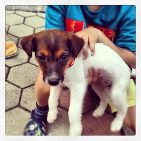 fox terrier puppy: Fox terrier puppy