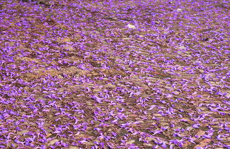 purple and violet petals of tree flowers of jacaranda on the ground surface in spring - background wallpaper Standard-Bild