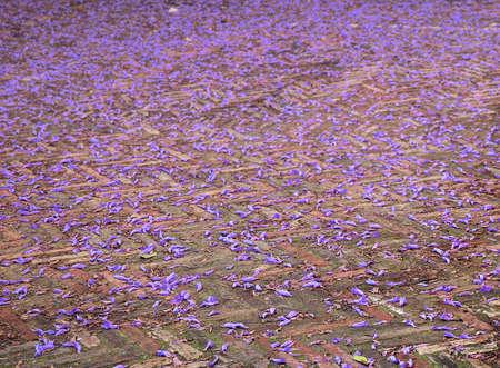 purple and violet petals of tree flowers of jacaranda on the floor surface of the street in spring Standard-Bild