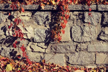 Beautiful autumn scene with ivy, vine or climbing plant hanging with red and yellow leaves and branches over a stone wall Reklamní fotografie