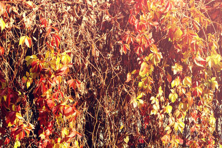Beautiful autumn texture with ivy, vine or climbing plant hanging with red and yellow leaves and branches