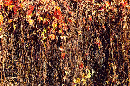 Beautiful autumn scene with ivy, vine or climbing plant hanging with red and yellow leaves and branches