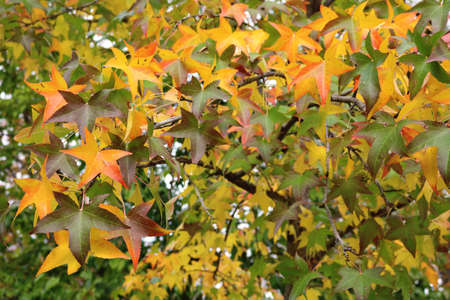 star shaped leaves of trees in autumn: colorful red, yellow, orange and green background Banco de Imagens