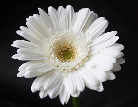 bee on flower: vibrant white daisy isolated on black
