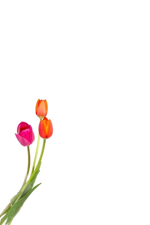 royalty free: bright tulips standing tall in corner. isolated on white Stock Photo