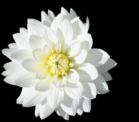 stamin: close-up of vibrant white dahlia. isolated on black Stock Photo