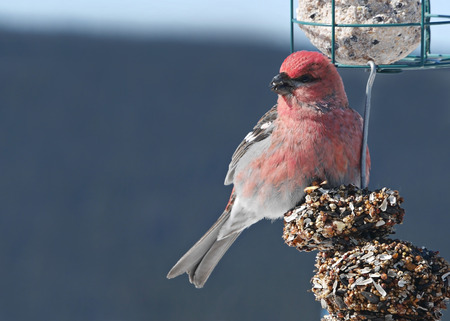 free image: stock close-up image of beautiful red pine grosbeak on feeder Stock Photo