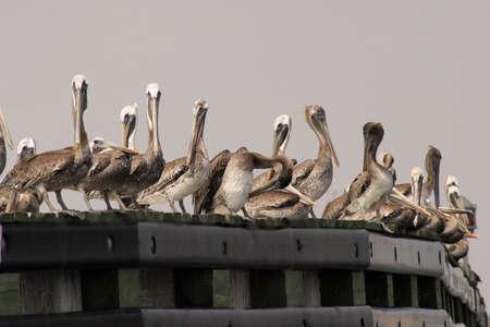 pelicans along river