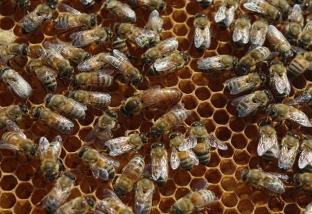 bee queen: La abeja reina en el panal con abejas obreras