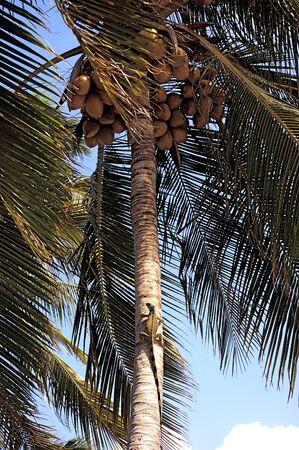 Iguana Sunning on Coconut Palm Tree Stock Photo - 15127111