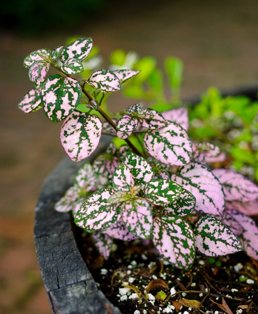 splotchy: Polka Dot Plant Hypoestes.  Selective focus on leaves of a green and pink spotted plant potted in a wood barrel.