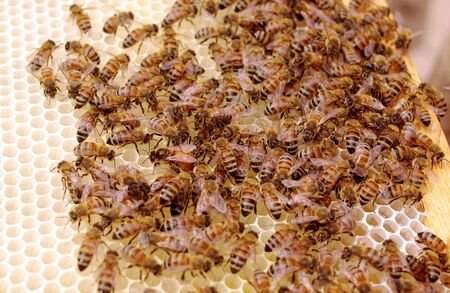 Queen Bee Laying Eggs on New Brood Frame with Uncapped Honey and Brood Cells.