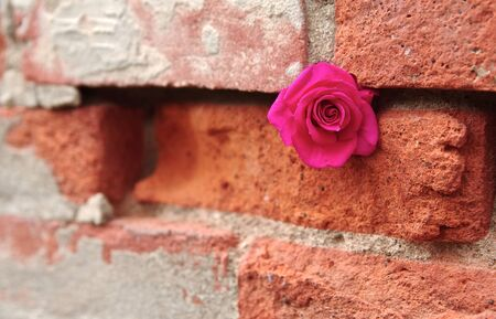 crevice: Rose Tucked into Crevice of a Brick Wall
