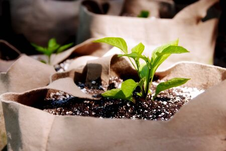 seedling: Seedling Planted in a Grow Bag Stock Photo
