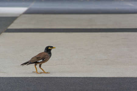 starling: Myna is walking on the footpath. Stock Photo
