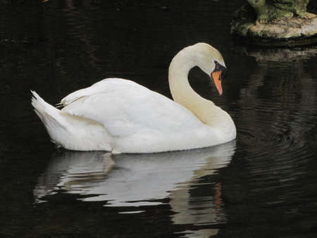 White swan floats in water. Madeira photo