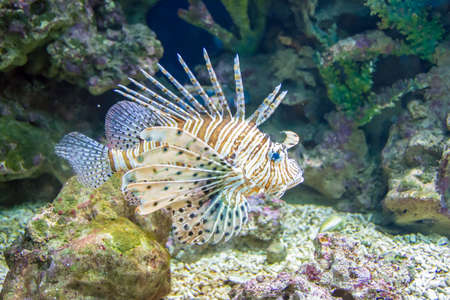 firefish: Common  Lionfish or Devil firefish (Pterois miles) close-up in aquarium