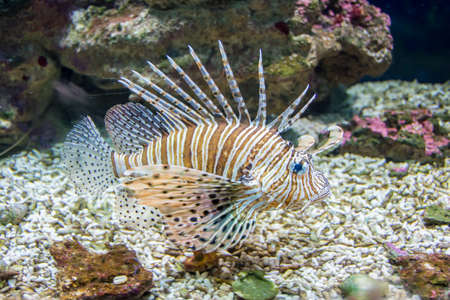 pterois: Common  Lionfish or Devil firefish (Pterois miles) close-up in aquarium