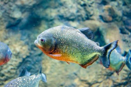 luminescent: Fish close-up in aquarium Stock Photo