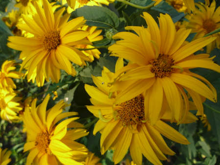 blooming yellow Rudbeckia with green leafs photo
