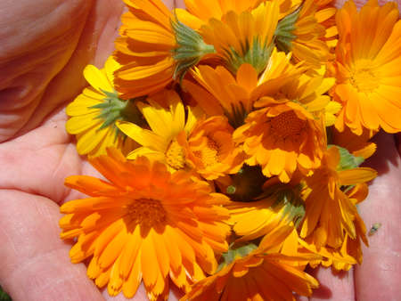 Orange marigold flowers in human hands. Healing herbs. Plucked petals of calendula 免版税图像