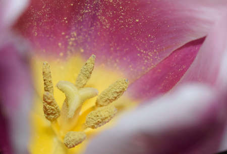 Closeup on the inside of a white and pink tulip. Blurred Flower Background. Flower Petals Texture. Beautiful Pink Natural background. Macro Abstract of Inside of Pink Tulip, selective focus, horizontal