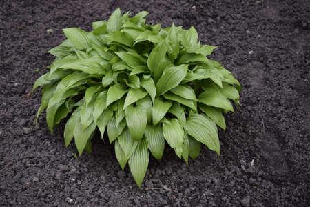 Green hosta (Hosta lancifolia) leaves in summer garden. Green life concept