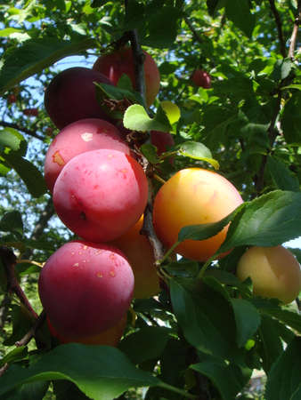 Closeup of delicious ripe plums on tree branch in garden