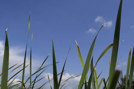 Green grass with blue summer sky. Meadow lush grass. Closeup. A Sunny day. Stock Photo - 128108589