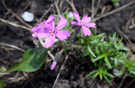 Styloid phlox. Small bright violet spring flowers in the garden close up. Spring background. Stock Photo