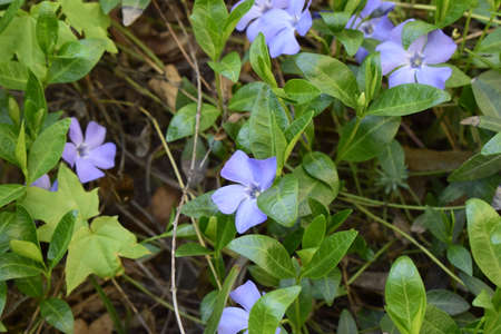 Vinca minor (common names lesser periwinkle, dwarf periwinkle, small periwinkle, common periwinkle) is a species of flowering plant native to central and southern Europe. Stock Photo - 128108895
