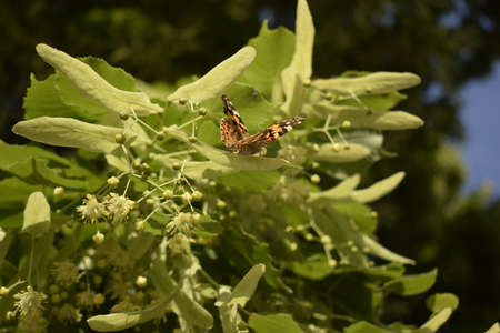 Painted Lady butterfly (Vanessa cardui) feeds on a nectar of flowers of Linden tree Stock Photo - 128109080