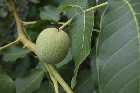 Branch with green nuts. Young fruit of the walnut Stock Photo - 129143447