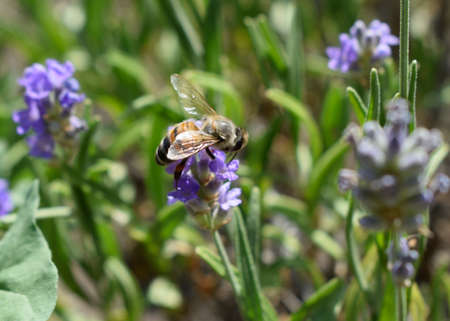 Honey bee on a lavender and collecting polen. Flying honeybee. One bee flying during sunshine day. Insect. Lavenders field with beautiful sunlight. Stock Photo - 129143924