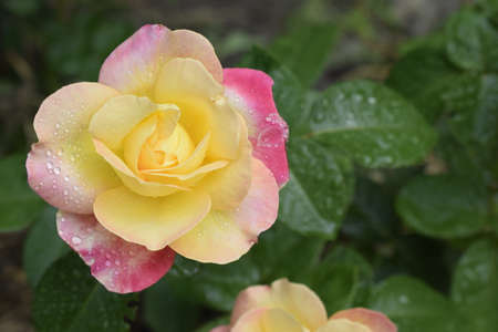 A Plant with colour changing roses. Multicolour roses with amazing combination og red, yellow ,orange and pink looks like bright light in it. Natural beauty and glow on green garden outdoor