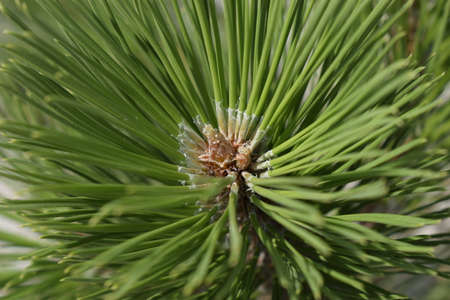 Freshness, nature and outdoors concept. Latin: Pinus sylvestris. The Spruce. Pine branch detail. pine needle close up Zdjęcie Seryjne - 129145886