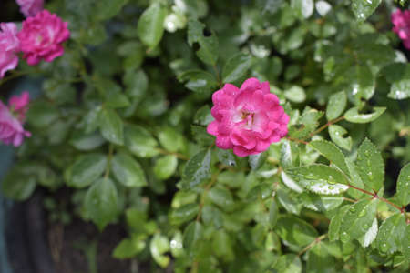 Small pink rose flower with raindrop isolated on blurred green leaf background, valentine card in mimimal concept. Wet pink roses with drops of dew. Outdoor background