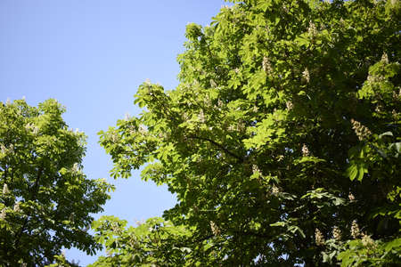 Large chestnut tree. A lot of chestnut leaves from above against the sky and sunlight. Green bright natural photo background