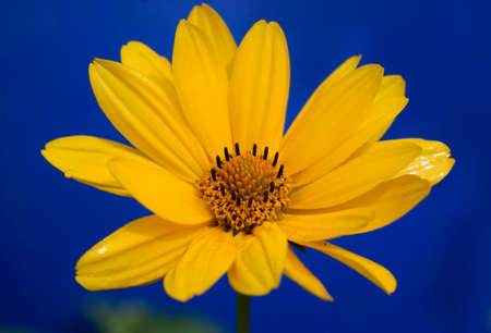 Yellow daisy flower (heliopsis) on the deep blue background. Imagens